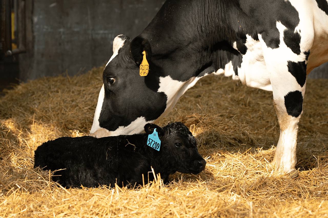 Dairy cow licking off newborn dairy beef crossbred calf