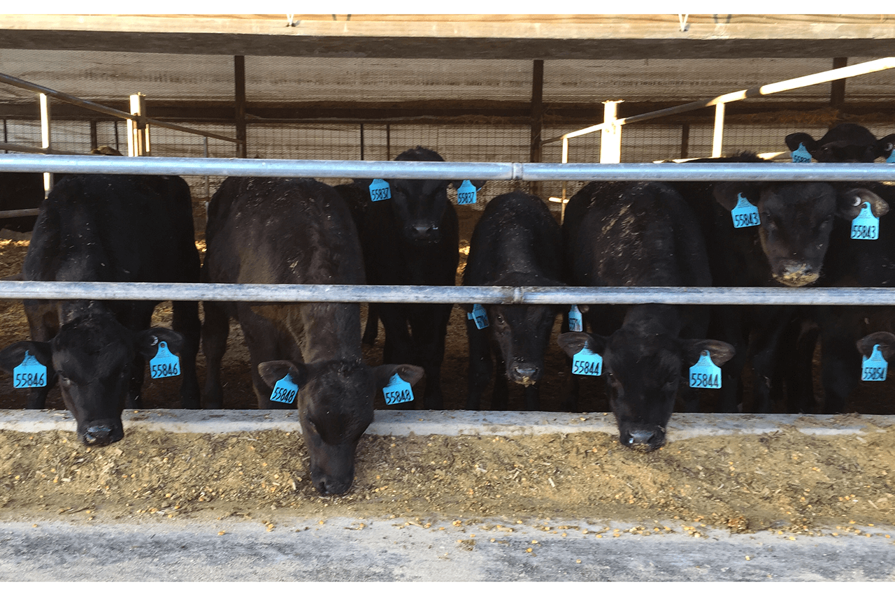 Group of dairy-beef crossbreds at a feed bunk