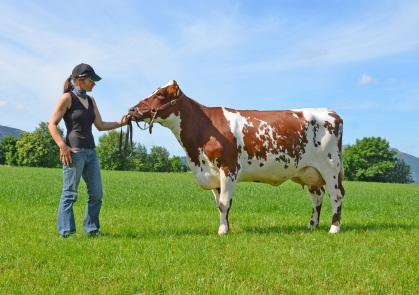 Purebred Norwegian Red cow.