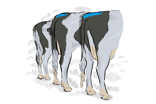 Illustration of Holstein cows with blue tail paint.